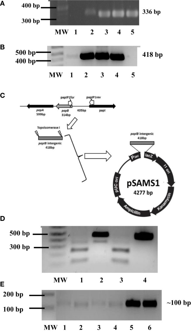 Phenotypic influence of Dam on P fimbriae . (A) PCR screening for pap EF in UPEC strains cC119 (lane 4), CFT073 (lane 5), and cU155 (lane 6). The 100-bp molecular weight marker (Invitrogen), negative control and positive control ( E. coli strain Lo qnr A + / pap EF + ) are represented as MW, 1 and 2, respectively. (B) PCR screening for pap I– pap B intergenic regulatory region in UPEC strains from UPEC strains cC119 (lane 2), CFT073 (lane 3), and cU155 (lane 4). The 1-kb plus molecular marker (Invitrogen, CA, USA), negative control, and positive control ( E. coli strain Lo qnr A + / pap EF + ) are represented as MW, 2 and 5, respectively. (C) Schematic representation of pSAMS1 recombinant plasmid containing cloned pap IB insert within pCRII–TOPOII vector. (D) Dam methylation patterns for pap I-B regulatory region. Sau 3AI (lane 2), Mbo I (lane 3), and Dpn I (lane 4) digests of pSAMS2 isolated from cC119 are shown. MW represents the 1 kb Plus molecular marker (Invitrogen). An undigested pap IB fragment (lane 5) is also represented. (E) Semi-quantitative (sq) RT-PCR for pap I expression in cC119 (lane 1), cC119 Δ dam (lane 2), CFT073 wild-type (lane 3) and CFT073 Δ dam (lane 4). The 1 kb Plus molecular marker (Invitrogen) and amplified chromosomal DNA for UPEC strains cC119 and CFT073 are shown in lanes MW, 5 and 6, respectively.