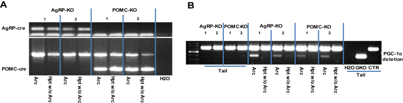 Specific deletion of PGC-1α in the ARC nucleus of AgRP and POMC mice . ( A ) Detection of AgRP-Cre and POMC-Cre expression in punches targeting the ARC nucleus. Genotyping PCR with specific primers was used to detect the presence of the AgRP-cre or POMC-cre allele in isolated hypothalamic region. ( B ) Genotyping PCR using specific primers showing the specific deletion of PGC-1α in the ARC.