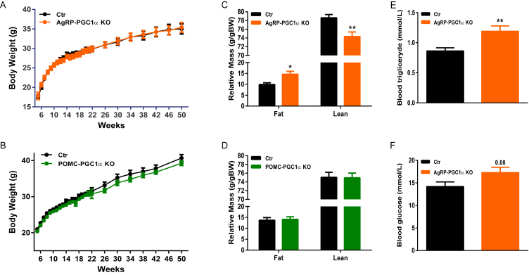 PGC-1α deletion in AgRP, but not in POMC neurons promotes fat storage . ( A and B ) Body weight curves (n = 10–14) ( C and D ) body composition (n = 7–8) and ( E and F ) blood triglycerides and glucose levels (n = 5–7) in AgRP-, POMC-PGC1α KO and Ctr mice. Values and error bars represent the mean ± SEM. *p