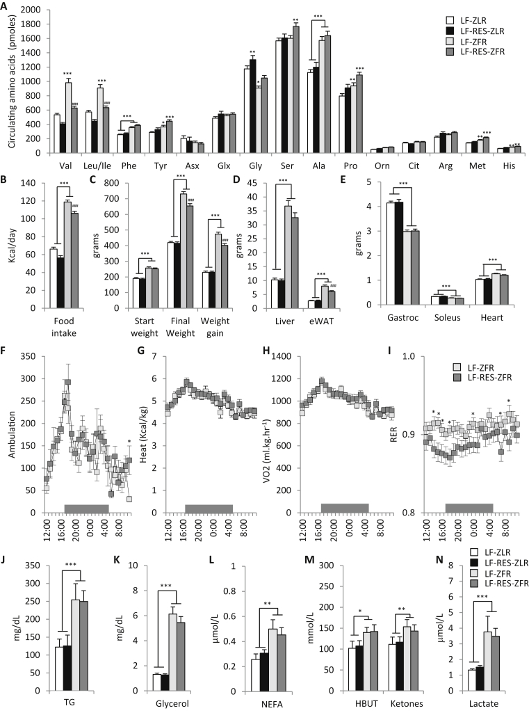 Effect of Zucker-fatty genotype and BCAA restriction on circulating amino acids and energy balance . Male Zucker-lean rats (ZLR) or Zucker-fatty rats (ZFR) were fed a custom low fat (LF) diet or an isonitrogenous isocaloric LF diet in which BCAA were restricted by 45% (LF-RES). (A) Circulating amino acid profiles. (B) Daily food intake (kcal/day). (C) Starting weight, final weight, and total weight gain (grams). (D) Liver and epididymal adipose tissue (eWAT) weights (grams). (E) Gastrocnemius, soleus and heart tissue weights (grams). n = 12–28 per group (F) Ambulation (total x and y beam breaks), (G) Heat (kcal/kg), (H) VO2 (mL/kg/hr), and (I) Respiratory exchange ratio (RER) measured hourly during a 24 h cycle following a 24 h acclimation period in the metabolic cages, during which the dark period was from 5PM to 5AM as shown by the gray bar, n = 9–12 per group. (J) Plasma triglycerides (TG; mg/dL), (K) glycerol (mg/dL), (L) non-esterified fatty acids <t>(NEFA;</t> μM/L), (M) <t>hydroxybutyrate</t> and ketones (mmol/L), and (N) lactate (μM/L), n = 9–15 per group. Data represent mean ± SEM. Statistical differences indicated by: *: P