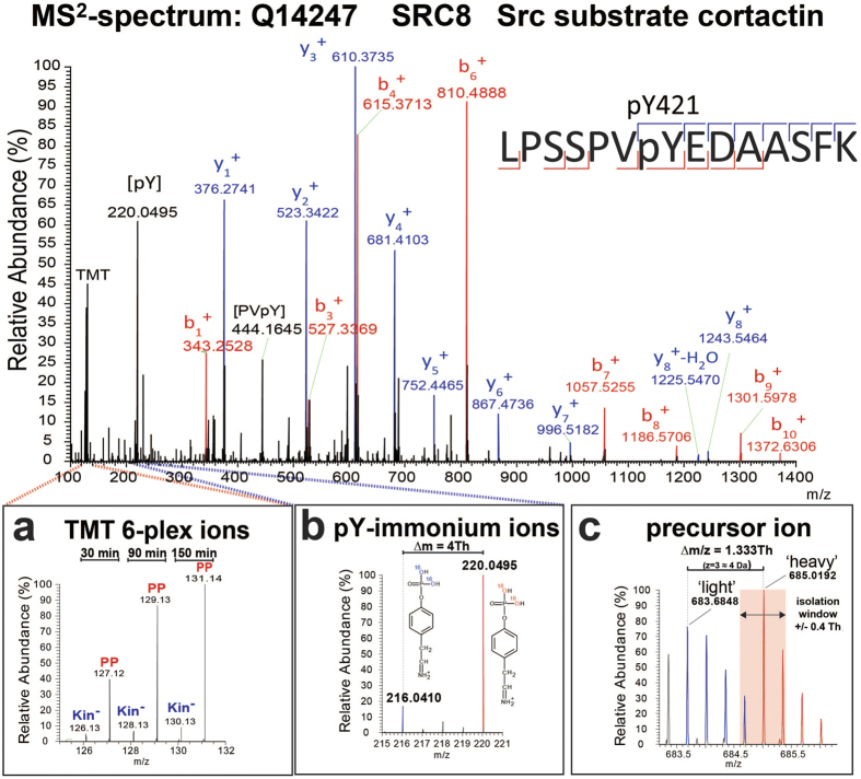 Spectral features of HAKA-MS. An example of an MS 2 spectrum corresponding to a tryptic peptide derived from SRC8 containing a reported ABL1 phosphorylation site. The assigned fragment ions provide peptide-specific sequence information that is used to computationally match the data to the corresponding peptide in a protein database. Certain fragment ions ( i.e. , y 8 and b 7 ) unambiguously assign the phosphate group (+84 Da) to Y421 and not to S417, S418 or S426. ( a ) Magnification of the TMT reporter ion region to illustrate the relative abundance of the individual multiplexed samples for this specific phosphotyrosine-containing peptide. TMT 6-plex ion intensities were used to generate individual relative ratios or to plot reaction progress kinetics. ( b ) pY-immonium ions for 'light' ( m/z 216.04) and 'heavy' ( m/z 220.04) versions of the phosphopeptide. The existence and relative abundances of the immonium ions provide unequivocal evidence of tyrosine residue phosphorylation and quality control of the respective spectrum. ( c ) MS 1 precursor ion of the phosphotyrosine-containing peptide with both the 'light' ( m/z 683.6848) and 'heavy' ( m/z 685.0192) isotopologues. Both isotopologues (blue and red peaks) display a typical 12 C/ 13 C-isotopic peak distribution (1 a.m.u. separation) but with a slight overlap due to the small ∆ m/z of 1.333 Th. Precursor ion selection of the monoisotopic peak (pink area) was wi thin the isolation window of ±0.4 Th and partially including the 'light' isotopologue (fourth 13 C-isotopic peak).