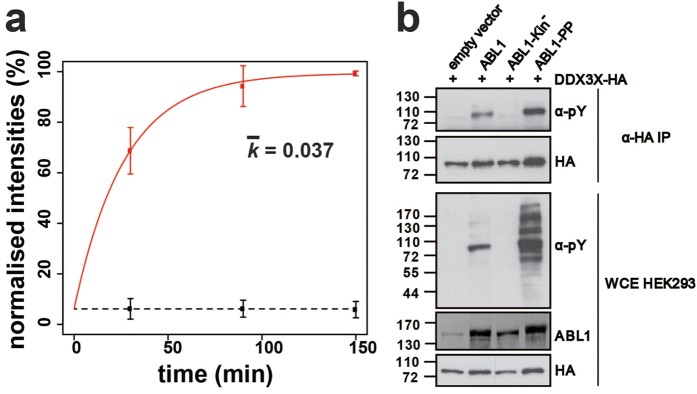 DDX3X is a novel substrate of ABL1. ( a ) Phosphorylation kinetics for the DDX3X peptide DKDAYSSFGSR. The 'heavy' phosphate group is located on Y69. Calculated rate constants ( k ) are plotted for the constitutively-active ABL1-PP and catalytically-inactive ABL1-Kin − . Error bars represent two standard deviations (2σ) from the mean. ( b ) Biochemical validation of DDX3X tyrosine phosphorylation mediated by ABL1. HA-tagged DDX3X was transiently co-transfected in HEK293 cells in the presence of ABL1, ABL1-Kin − , ABL1-PP or the empty vector. DDX3X was immunopurified with HA-beads and the tyrosine phosphorylation state assessed by α-phosphotyrosine (4G10) immunostaining. Total levels of DDX3X-HA, ABL1 and tyrosine-phosphorylated proteins were visualised by immunostaining against α-HA, α-ABL1 and α-phosphotyrosine (4G10), respectively.