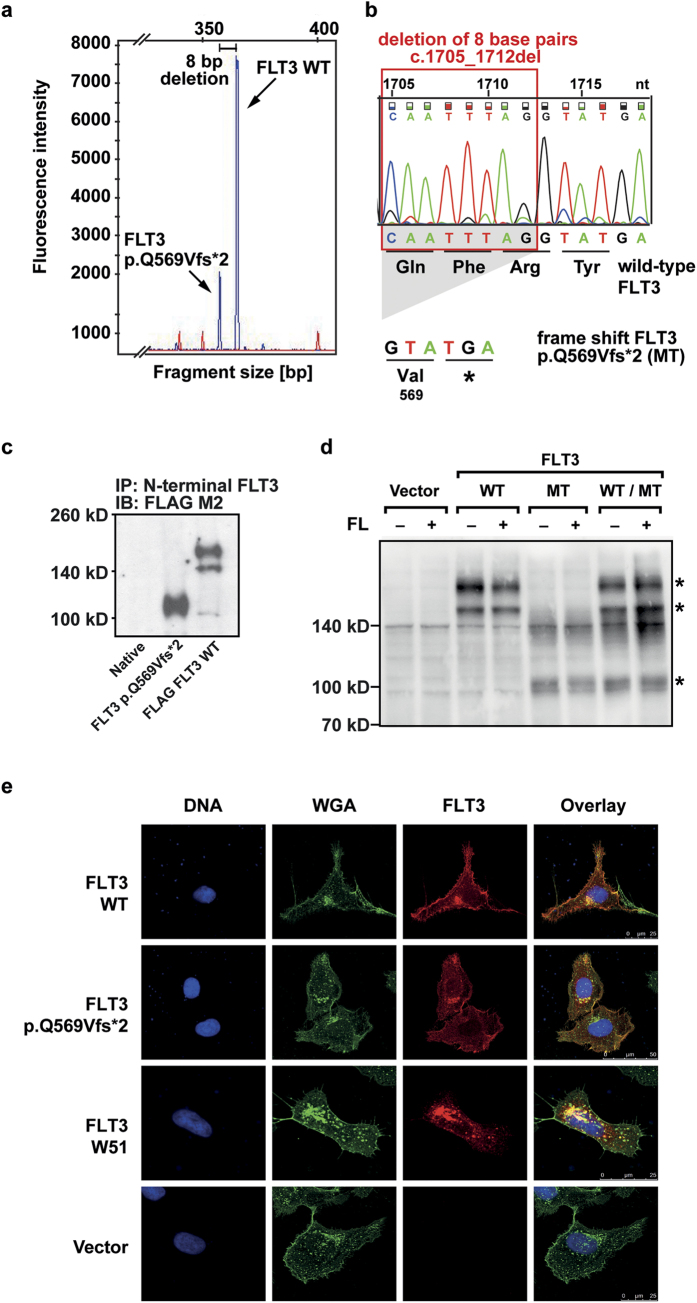 Identification of the mutation in the patient sample and expression of the truncated FLT3 p.Q569Vfs*2 receptor. ( a ) Blast cells were isolated from the bone marrow of a relapsed AML patient. mRNA was isolated and reverse transcribed. The FLT3 cDNA was amplified and fragment analysis was performed. Arrows indicate fragments for FLT3 WT and FLT3 p.Q569Vfs*2. The peaks differ by eight base pairs in their fragment size. ( b ) Sanger sequencing revealed a deletion of eight nucleotides, leading to a frameshift and a premature stop codon within the FLT3 gene. The chromatogram is shown for the wild-type FLT3 , nucleotide triplets and the corresponding amino acids are shown for the FLT3 WT and the frameshift mutation FLT3 p.Q569Vfs*2 sequence. ( c ) Phoenix eco cells were transfected with FLAG-tagged FLT3 WT and FLAG-tagged FLT3 p.Q569Vfs*2. After cell lysis the FLT3 protein was immunoprecipitated from whole cell lysates with an N-terminal FLT3 antibody (SF1.340). After blotting the FLAG-tagged FLT3 was detected with an FLAG M2 antibody. One representative experiment is shown. The blot was cropped to improve the clarity of the image. ( d ) Ba/F3 cells stably expressing the indicated constructs. After cell lysis the FLT3 protein was detected with an N-terminal FLT3 antibody (4B12). One representative experiment is shown. FLT3 bands are indicated by asterisks. The blot was cropped to improve the clarity of the image (MT = FLT3 p.Q569Vfs*2). ( e ) Immunofluorescence of FLT3 (red), glycoconjugates (green) and counterstaining of DNA (blue) in transiently transfected U2OS cells. One representative image of each construct is shown.