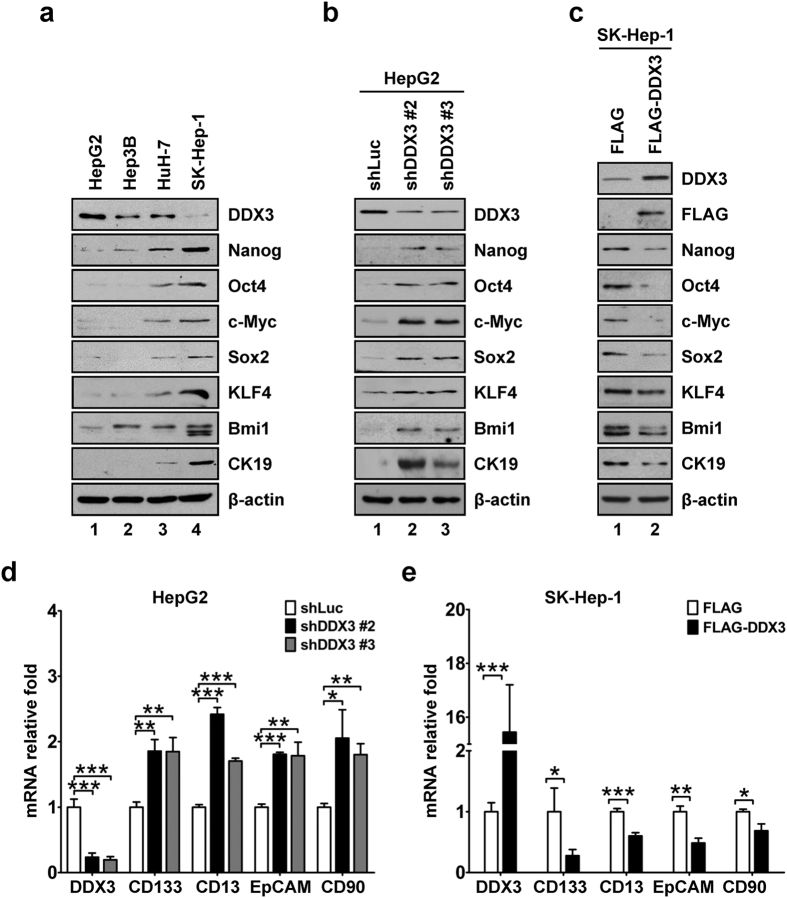 DDX3 suppresses stemness gene signature. ( a ) Lower expression of DDX3 along with overexpression of stemness markers was observed in the poorly differentiated cell line. Cell lysates (50 μg) of HepG2, Hep3B, HuH-7 and SK-Hep-1 cells were analyzed by western blotting with antibodies against DDX3, Nanog, Oct4, c-Myc, Sox2, KLF4, Bmi1, CK19 and β-actin. ( b ) Knockdown of DDX3 led to up-regulation of stemness markers. Cell lysates (50 μg) of stable shLuc, shDDX3 #2 and shDDX3 #3 HepG2 cells were analyzed by western blotting with antibodies described in ( a ). ( c ) DDX3 overexpression suppressed stemness markers. Plasmid pcDNA3-SRα/FLAG or pcDNA3-SRα/FLAG-DDX3 was transfected into SK-Hep-1 cells. At 48 h post transfection, cell lysates were prepared and subjected to immunoblotting with antibodies described in ( a ) and anti-FLAG antibody. β-actin was used as internal control in ( a – c ). ( d ) DDX3 knockdown was correlated with up-regulation of hepatic CSC surface markers. mRNA expressions of DDX3, CD133, CD13, EpCAM, CD90 and GAPDH in shLuc, shDDX3 #2 and shDDX3 #3 cells were detected by qRT-PCR. GAPDH was used as internal control. Fold change of each mRNA transcript in shDDX3 #2 and shDDX3 #3 cells was relative to that of shLuc cells. ( e ) DDX3 overexpression resulted in suppression of hepatic CSC surface markers. SK-Hep-1 cells were transfected with plasmid pcDNA3-SRα/FLAG or pcDNA3-SRα/FLAG-DDX3 as described in ( c ). At 48 h post transfection, total RNA was extracted and subjected to qRT-PCR analysis. GAPDH was used as internal control. Fold change of each mRNA transcript in FLAG-DDX3-expressing cells was relative to that of vector control cells. All experiments were performed at least three times, and the error bar indicates ± 1 s.d. of the mean. Statistical analyses were carried out using t test (* p
