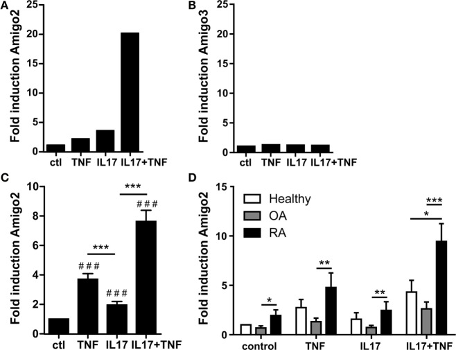 Amigo2 is upregulated more specifically in RA synoviocytes in inflammatory conditions . Synoviocytes were exposed to IL-17A or TNF-α alone or to a combination of both for 12 h. Amigo2 and Amigo3 expressions were assessed by transcriptomic analysis (A,B) and Amigo2 expression was also assessed by quantitative real-time PCR (C,D) . Gene expression was compared between the different treatments and is represented as fold changes compared to control in RA synoviocytes (A–C) . Amigo2 expression was also evaluated in synoviocytes from different clinical settings (healthy, OA and RA) and is expressed as fold changes compared to healthy synoviocytes exposed to vehicle (D) . Data are the mean of at least three independent experiments ± SEM. # Comparison with control situation, *comparison between different cytokine combinations (C) or between cell types (D) . * P ≤ 0.05, ** P ≤ 0.01, ***, ### P ≤ 0.001.