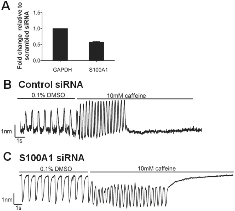 S100A1 regulates contraction in response to caffeine. CMEF microtissues were formed and incubated for 14 days prior to transfection with 10 nM nonsilencing siRNA (−ve control) and 10 nM S100A1 siRNA. A, RNA was extracted from microtissues and expression of GAPDH and S100A1 mRNA analysed by qRT-PCR (n = 3, ± SD). Contractile response recorded using the IonOptix cell geometry system under vehicle control (0.1% v/v DMSO) and 10 mM caffeine in (B) nonsilencing siRNA control CMEF microtissue and (C) S100A1 siRNA transfected CMEF microtissue (results from 1 experiment representative of 3 separate experiments).