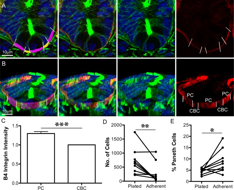 Paneth cells are more adherent to laminin than other crypt cells. (A, B) Immunofluorescence images of sectioned tissue show nuclei (Hoechst, blue), F-actin (Phalloidin, green), and β4 Integrin (red): (A) is an optical section; (B) is a 3D projection (from Imaris) of the same crypt. In the left panel, the basal surface of crypt base columnar (CBC) cells are pseudo-coloured yellow, and the basal surface of Paneth cells are pseudo-coloured purple. Paneth cells are identifiable as the large cells with round, basally placed nuclei; CBC cells are narrow and have compressed nuclei. White lines (left and right panels) indicate the boundaries between Paneth cells and their neighbours. (C) Average β4 Integrin intensity on the basal surface of Paneth cells (PC) was normalised to the average value for neighbouring cells (CBC). Left panels in (A) and (B) indicate the Imaris-rendered surfaces that were used to measure β4 Integrin signal intensity. ± SEM, p