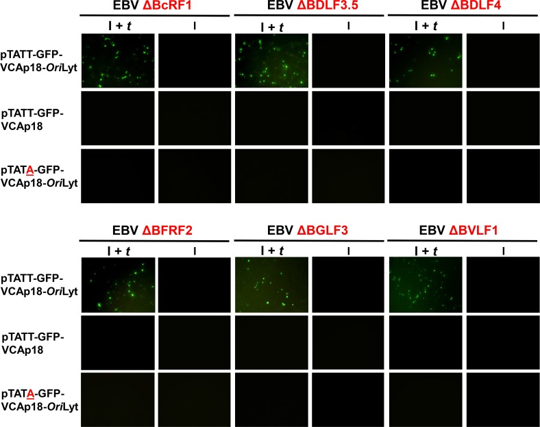 Loss of the TATT motif or Ori Lyt disrupts βγ gene dependent transcription. Images of 293 cells infected with the indicated EBV βγ gene deletion mutant and transfected with either pTATT-GFP-VCAp18- Ori Lyt (top rows), pTATT-GFP-VCAp18 (middle rows) or pTATA-GFP-VCAp18- Ori Lyt (bottom rows) either induced (I) by transfection of R and Z (second, forth, and sixth columns) or induced and trans- complemented (I + t ) by transfection of R, Z, and the relevant βγ expression plasmid (first, third, and fifth columns). Cells were scored for GFP at 60 hours post transfection.