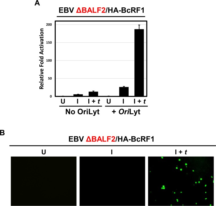 EBV lytic DNA replication is necessary for TATT reporter activation. A) Luciferase assay showing relative fold activation of the TATT-containing EBV BcLF1 promoter in presence or absence of EBV minimal Ori Lyt in cis in the replication defective EBV ΔBALF2/HA-BcRF1 293 cells. For each condition, cells were either uninduced (U), induced by transfection of R and Z (I) or induced and trans -complemented by transfection of R, Z, and BALF2 (I + t ). Relative fold activation is reported after normalization to renilla internal control and to the uninduced (U) values. B) pTATT-GFP-VCAp18- Ori Lyt, expressing the fusion protein GFP-VCAp18 under control of the late VCAp18 promoter (i.e. BFRF3p) and containing EBV Ori Lyt was transfected in 293 cells containing EBV ΔBALF2/HA-BcRF1 genome. Cells were either uninduced (U), induced by transfection of R and Z (I) or induced and trans -complemented by transfection of R, Z and BALF2 (I + t ). Cell were scored for GFP at 60 hours post transfection.