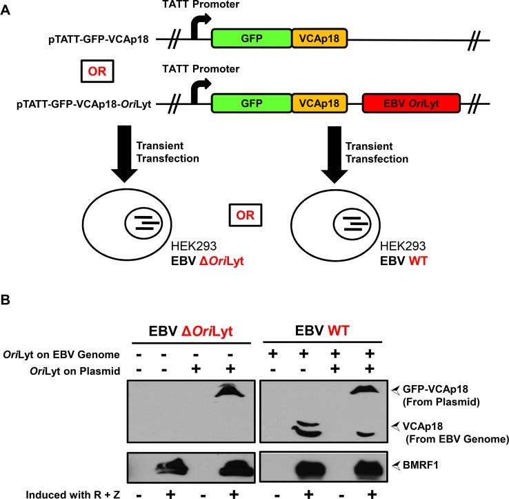 EBV Ori Lyt is required in cis for late gene expression in the context of the intact viral genome. A) Schematic of the experiment shown in Fig 7B, in which 293 cells infected with either a wildtype EBV genome (EBV WT) or an EBV genome lacking an Ori Lyt (EBV Δ Ori Lyt) are transfected with either a plasmid that expresses a GFP-VCAp18 fusion protein under the control of the native VCAp18 promoter (i.e., BFRF3 p) or an identical plasmid that also contains the EBV Ori Lyt. B) Immunoblots showing expression of the early gene product BMRF1 (bottom panels) and the late gene products GFP-VCAp18 (from plasmid) and VCAp18 (from EBV genome) (top panels) in presence or absence of EBV Ori Lyt on either the plasmid or the intact EBV genome. pTATT-GFP-VCAp18 or pTATT-GFP-VCAp18- Ori Lyt were transfected into cells stably infected with either EBV Δ Ori Lyt (left panels) or EBV WT (right panels) genomes. For each condition, cells were either uninduced or induced by transfection of R and Z expression plasmids. Immunoblots were performed at 60 hours post-transfection.