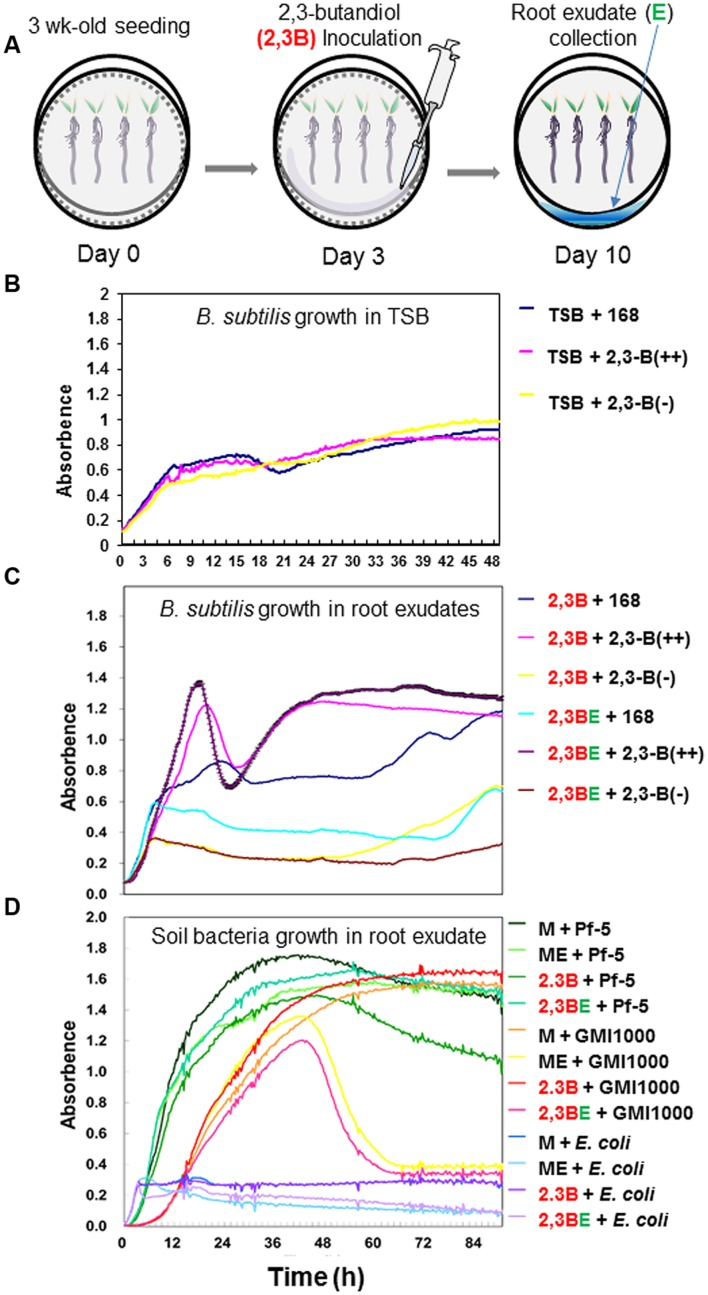 <t>Growth</t> kinetics of B. subtilis wild-type and mutant strains after exposure to root exudates elicited by 2,3-butanediol. Initial cell culture concentrations were OD 600 = 0.02 and data are shown as log-normal plots. <t>Tryptic</t> <t>soy</t> <t>broth</t> supplemented with root exudate at a 1:1 ratio was applied to pepper roots. Aliquots (150 μl) from each culture were transferred to 100 wells of a Bioscreen plate. Plates were incubated in a Bioscreen C (Fluoroskan; Labsystems, Helsinki, Finland) with shaking at 30°C for ~4 days. The OD 600 of each well was measured every 15 min. 2.3B = 2,3-butanediol; 23BE = root exudate collected from 2,3-butanediol-treated root system; 168 = B. subtilis 168; BSIP 1174 = B. subtilis BSIP 1174 (non-producer); BSIP 1171 = B. subtilis BSIP 1174 (overproducer); Pf-5 = Pseudomonas protegens Pf-5; GMI1000 = Ralstonia solanacearum GMI1000; M = MS broth; ME = MS broth amended with root exudate without treatment. (A) Schematic of protocol to extract root exudates after 2,3-butanediol application. (B) Growth kinetics of the three strains in control TSB <t>medium.</t> The figure indicate background expression of three strains 168, 2,3-B(++), and 2,3-B(-). (C) Growth of bacterial strains 168, 2,3-B(++), and 2,3-B(-) after treatment with 2,3-butanedol alone (referred to as 2,3B) or 2,3-butanediol-elicited root exudate (referred to as 2,3BE). (D) Growth kinetics of P. protegens Pf-5, Ralstonia solanacearum GMI1000, and E. coli . P. protegens Pf-5 is a non-pathogenic saprophyte that inhabits soil, water, and plant surface environments. Growth of P. protegens Pf-5 was not inhibited by 2,3-butanediol-elicited exudate. Growth of GMI1000, a soil-borne bacterial wilt pathogen, was inhibited by root exudates. E. coli was included as a bacterial control. Data shown are mean ± SEM of triplicate experiments.