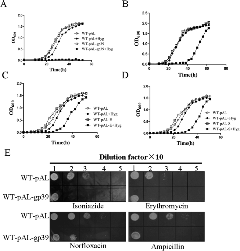 WT-pAL-gp39 increased bacterial growth defect following exposure to multiple antibiotics. The bacterial strains of WT-pAL, WT-pAL-gp39 ( A ), WT-pAL-E ( C ) and WT-pAL-S ( D ) were grown in M9 medium ( B ) or Middlebrook 7H9 medium supplemented with 0.05% Tween 80, 0.2% glycerinum and 0.25% acetamide, with or without hygromycin (100 μg/ml). The OD 600 were determined at an interval of 3 h. ( E ) Ten-fold serial dilutions of WT-pAL and WT-pAL-gp39 were spotted on Middlebrook 7H10 containing isoniazide (4 μg/ml), erythromycin (16μg/ml), norfloxacin (1μg/ml) and ampicilin (100 μg/ml). Then the result was recorded when incubated at 37 °C for 3 days. The data reported represent the means (n = 3) ± SD (standard deviation).