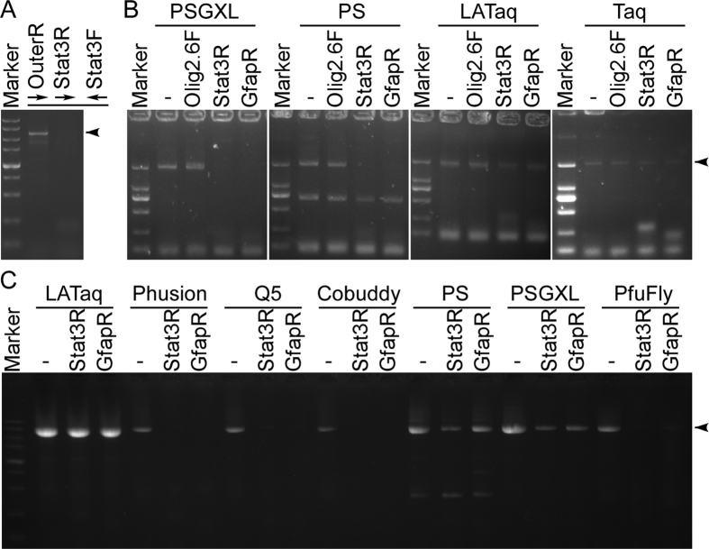 Proofreading <t>DNA</t> polymerases can be inhibited by certain primers. ( A ) Example of inhibitory primer using PSGXL. A slightly longer target DNA fragment can be successfully amplified by the primers OuterR and Stat3F, but use Stat3R instead of OuterR caused PCR failure. ( B ) Primers Stat3R and GfapR are inhibitory to PSGXL and PS, but not to LATaq and Taq. The 2 kb targets were amplified using primers Olig2F and Olig2R, additional primer Olig2.6F, Stat3R, GfapR were added to the reaction. ( C ) Primers Stat3R and GfapR are inhibitory to all the tested proofreading DNA polymerases. Primers pBSIIF and pBSIIR were used to amplify the entire plasmid pBlueScript II KS (−). Adding the additional primer Stat3R or GfapR substantially reduced the PCR yield using the proofreading DNA polymerases such as <t>Phusion,</t> Q5, Cobuddy, PS, PSGXL and PfuFly. Arrowheads indicate target DNA fragments.