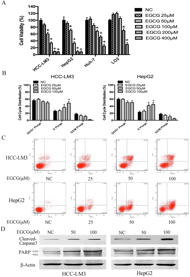 Effects of EGCG on HCC cell proliferation inhibition, S phage arrest, and apoptosis induction. ( A ) HCC cells were cultured with or without EGCG (25, 50, 100, 200 and 400 μM) for 24 h and cell viability was examined using the <t>CCK-8</t> method. ( B ) EGCG induced cell cycle arrest in HCC-LM3 and HepG2 cells. Cells were treated with the indicated concentrations of EGCG for 24 h, stained with propidium iodide, and analyzed by flow cytometry. ( C ) HCC-LM3 and HepG2 cells were treated with different concentrations of EGCG, and the cell apoptosis rate was examined by flow cytometry. ( D ) Western blot analysis of cleaved-caspase 3 and PARP in HCC cells treated with EGCG (0, 50, and 100 μM). β-actin was used as a loading control. Plotted values represent the mean ± standard error of three independent experiments (n = 3) (*P