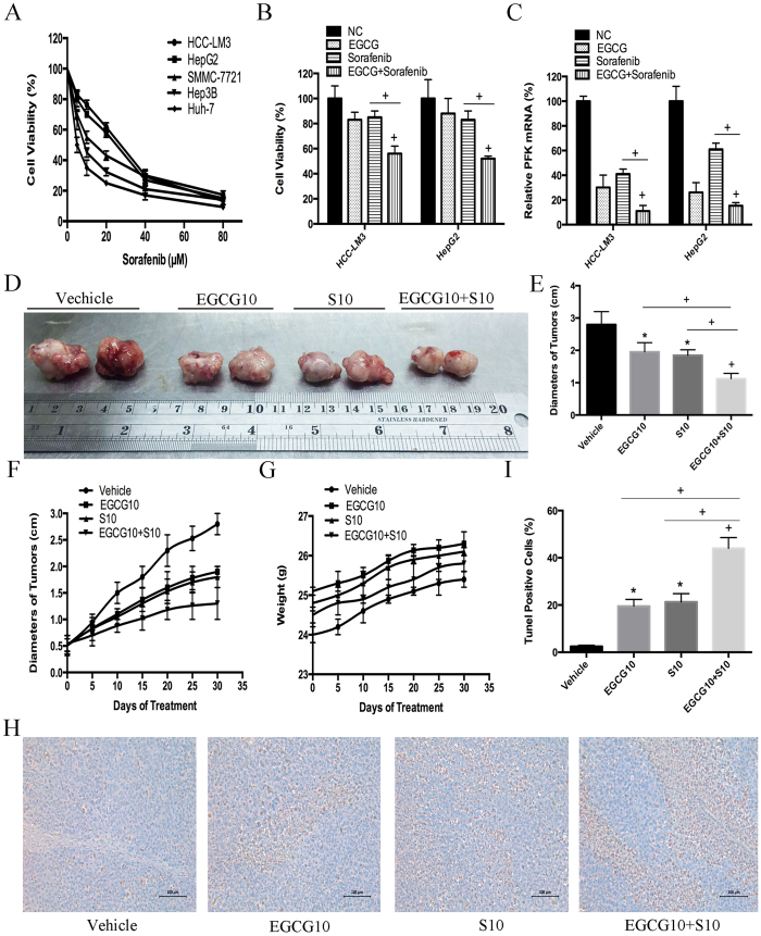 EGCG increased sorafenib induced cell growth inhibition in both sorafenib-resistant HCC cells and nude mice bearing xenograft tumors. ( A ) After sorafenib (5–80 μM) treatment for 24 h, HCC cells (5 × 10 4 ) were harvested and analyzed for cell growth inhibition using the CCK-8 assay. ( B , C ) HCC-LM3 and HepG2 cells were exposed to EGCG (25 μM), sorafenib (5 μM), or combination treatment for 24 h, cell proliferation was analyzed using the CCK-8 assay ( B ), and PFK mRNA expression was tested using qRT-PCR ( C ). ( D – I ) In a xenograft mouse model, mice were treated with EGCG (10 mg/kg BW per day) alone, sorafenib (10 mg/kg BW per day) alone, or combination treatment for 30 days. At the time points indicated, the following measurements were performed: diameter of tumors ( D,E ), changes in the diameter of tumors ( F ), changes in body weight ( G ), and the percent of TUNEL-positive tumor cells ( H , I ). Plotted values represent the mean ± standard error of three independent experiments (n = 3) (*P