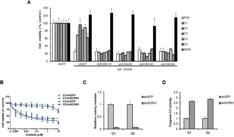 Downregulation of SCRN1 in erlotinib-resistant cell clones enhanced the drug sensitivity and cellular apoptosis in response to erlotinib ( A ) Suppression of SCRN1 by shRNA in erlotinib resistant clones increased erlotinib sensitivity. A549 cells were used as a negative control for the experiment. ( B ) Resistant clone C1 and C2 respond to erlotinib following SCRN1 knockdown by shRNA in concentration dependent manner. The results are indicated as mean +/− SD of sextuplicate wells and are representative of three independent experiments. ( C ) C1 and C2 resistant clones are dependent on SCRN1 for their transforming potential. The bar graph depicts the relative number of colonies in C1 or C2 transfected with sh SCRN1 normalized to the number of colonies formed by cells transfected with shGFP ( n = 3, mean + SD). ( D ) Knockdown of SCRN1 increases caspase 3/7 activities in C1 and C2 clones. Values are the means + SD from three independent experiments.