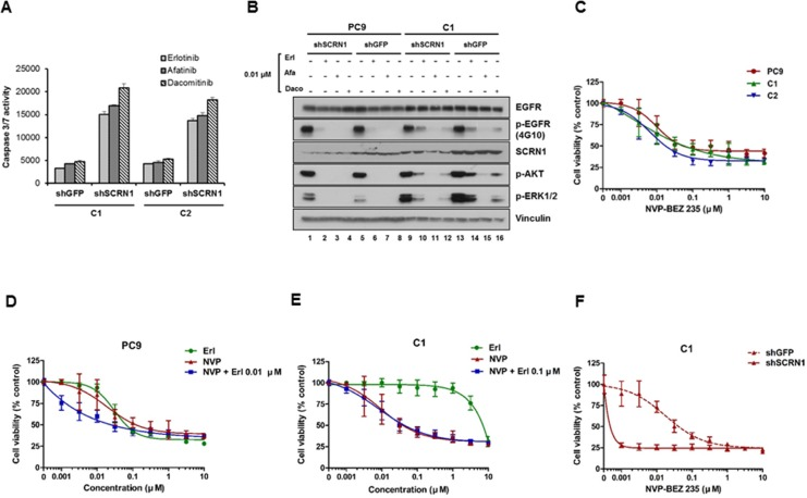 Activation of PI3K/AKT signaling pathways is essential for growth of erlotinib resistant cells ( A ) Caspase 3/7 activities in C1 and C2 cells treated with EGFR-TKIs were significantly enhanced following SCRN1 knockdown compared to sh GFP control. Values are the means + SD from three independent experiments. ( B ) Levels of constitutively phosphorylated AKT and ERK1/2 were more robustly reduced by either erlotinib or dacomitinib in C1 cells transfected with shSCRN1 than in those with sh GFP . ( C ) Growth of C1 and C2 cells in presence of PI3K/AKT inhibitor NVP-BEZ235 is equivalent to that of PC9 parental cells. The results are presented as a mean ± SD of sextuplicate wells and are representative of three independent experiments. ( D and E ) Erlotinib synergistically increased the sensitivity of NVP-BEZ235 for PC9 cell (C), but not for C1 cells (D). The results are presented as a mean ± SD of sextuplicate wells and are representative of three independent experiments. ( F ) Growth of C1 cells was synergistically inhibited by NVP-BEZ235 in combination with shRNA-mediated silencing of SCRN1. The results are presented as a mean ± SD of sextuplicate wells and are representative of three independent experiments.