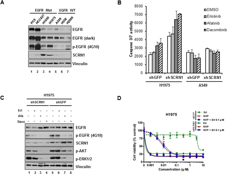 Silencing of SCRN1 by shRNA significantly increased apoptosis induced by EGFR TKIs in T790M-bearing NCI-H1975 cells ( A ) Levels of SCRN1 protein in various lung adenocarcinoma cell lines were examined by immunoblotting analysis. ( B ) Caspase 3/7 activities induced by EGFR-TKIs in NCI-H1975 cells, but not in A549 cells, were significantly enhanced following SCRN1 knockdown compared to sh GFP control. Values are the means + SD from three independent experiments. ( C ) Levels of phospho-AKT were synergistically diminished by EGFR-TKIs treatment in NCI-H1975 cells expressing shSCRN1. ( D ) Gwoth of H1975 cells are synergistically inhibited by treatment of NVP-BEZ235 and/or erlotinib following shSCRN1 transfection.