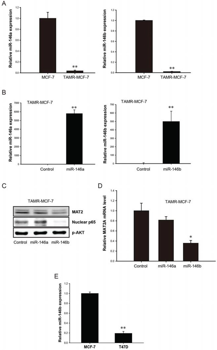 Role of miR-146 family in up-regulation of MAT2A expression in TAMR-MCF-7 cells A. Down-regulation of miR-146a and miR-146b expression in TAMR-MCF-7 cells. miR-146a and miR-146b expression in MCF-7 and TAMR-MCF-7 cells were determined by using <t>miScript</t> PCR kit with miScript primers specific for mature miR-146a and miR-146b. Samples were normalized to small nRNA U6. B. Effects of miR-146a and miR-146b mimics on the miR-146a/b expression in TAMR-MCF-7 cells. TAMR-MCF-7 cells were cultured in 6 wells plate and then transfected with miR-146a or miR-146b mimics for 36 h (120 p mole/well). miR-146a and miR-146b levels were determined by using miScript PCR kit with miScript primers specific for mature miR-146a and miR-146b. Samples were normalized to small nRNA U6. C. Effects of miR-146a/b mimic on NF-κB activity and MAT2A protein expression in TAMR-MCF-7 cells. TAMR-MCF-7 cells were cultured in 6 wells plate and then transfected with miR-146a or miR-146b mimics (120 p mole/well) for 36 h and immunoblottings were performed. The data were confirmed by two independent experiments. D. Effects of miR-146b mimic on MAT2A mRNA expression in TAMR-MCF-7 cells. TAMR-MCF-7 cells were cultured in 6 wells plate and then transfected with miR-146a or miR-146b mimics (120 p mole/well) for 36 h. MAT2A mRNA levels were determined by quantitative RT-PCR. Data represent mean ± SD with 3 different samples (significant versus control mimic miR-treated TAMR-MCF-7 cells, * P