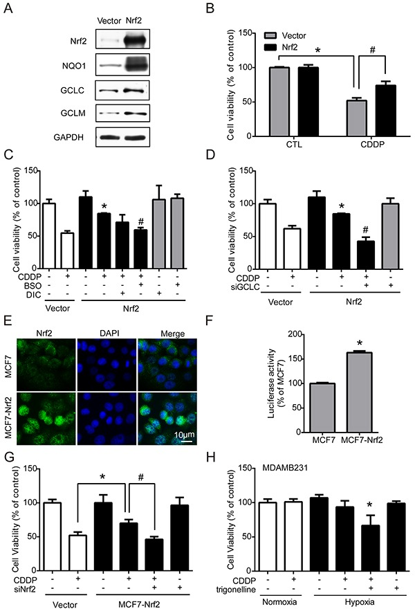 Nrf2 contributes to the increase of drug resistance MCF7 cells were transfected with vector control (vector) and Nrf2 plasmid (Nrf2). A. The protein levels of Nrf2, NQO1, GCLC, GCLM and GAPDH were detected by western blotting. B. MCF7 cells were treated with 1 μg/ml CDDP for 24 hours, and cell viability was determined with MTT. N=3, *, P