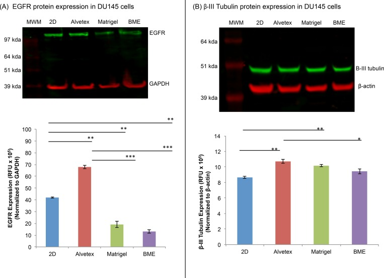 Total EGFR and β-III tubulin protein expression in DU145 cells. A representative image of the expression of (A) total EGFR and (B) β-III tubulin in 2D- and 3D-cultured DU145 cells. Bars represent the relative protein quantification of (A) total EGFR and (B) β-III tubulin on the basis of GAPDH and β-actin, and indicate the mean ± SEM (n = 3 for each group). *p≤0.05, **p≤0.01, and ***p≤0.001, using one-way ANOVA and unpaired t-tests.