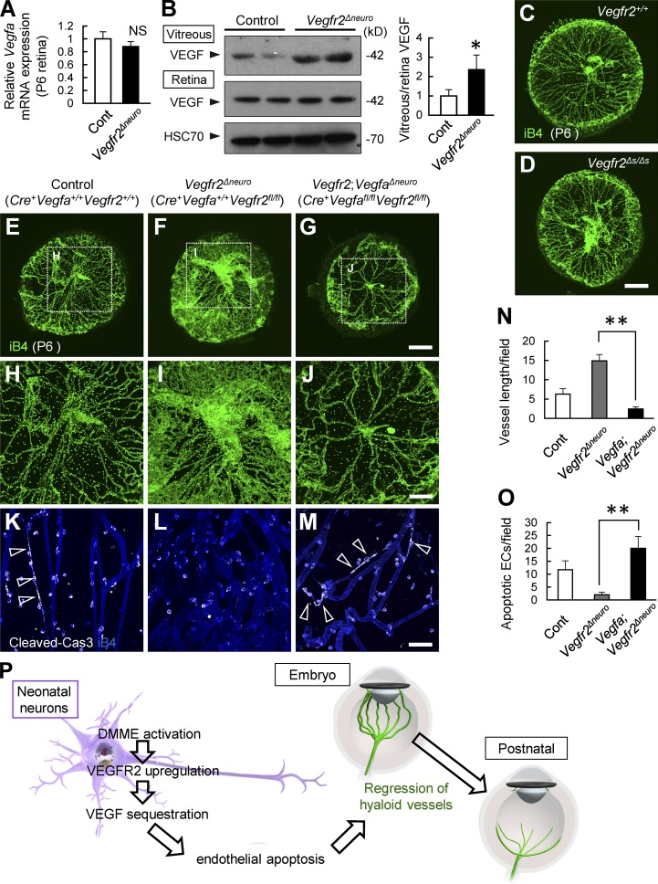 Deletion of VEGF normalizes persistent hyaloid vessels in neuronal VEGFR2 knockout mice. (A) Quantitative PCR analysis for retinal tissues at P6 ( n = 4). (B) Representative immunoblots and quantification in three independent experiments. (C–O) Whole-mount staining of hyaloid vessels at P6 and quantification ( n = 4). Spontaneous endothelial apoptosis detected in control mice (arrowheads in K) is greatly reduced in Vegfr2 Δneuro mice and is recovered in Vegfr2 ; Vegfa Δneuro mice (arrowheads in M). (P) Schematic diagram depicting the transition of ocular circulatory systems. Bars: (C–G) 500 µm; (H–J) 200 µm; (K–M) 50 µm. *, P
