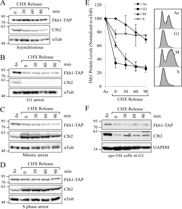 Fkh1 instability occurs specifically in mitosis ( A ) WT cells expressing endogenous FKH1-TAP were grown to mid log. CHX was added to the asynchronous cells to stop further protein synthesis. Samples were removed every 30 minutes and assessed by Western analyses with the antibodies shown. ( B ) The experiment described in ( A ) was performed, except the cells were arrested in G1 using α-factor. ( C ) The experiment described in ( A ) was performed, except the cells were arrested in mitosis using nocodazole. ( D ) The experiment described in ( A ) was performed, except the cells were arrested in S phase using hydroxyurea. (E) Blots from 3 repeat experiments of ( A ), ( B ), and ( C ), and 2 repeats of ( D ), were imaged with Fkh1-TAP levels compared over time to visualize Fkh1 stability. Standard error of the mean is shown. Samples were also removed following cell treatment for flow cytometry to verify cell cycle arrest. ( F ) apc10Δ Fkh1-TAP cells were arrested in G1 using α-factor. CHX was then added with samples removed every 30 minutes for protein analyses.