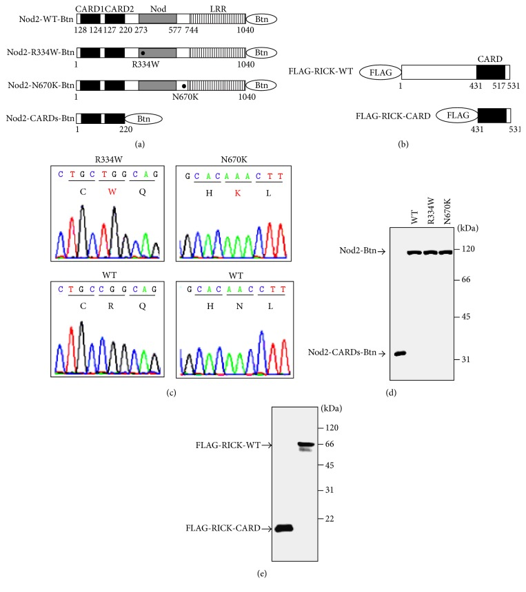 Schematic representation of Nod2 and RICK, and sequencing chromatograms of Nod2 plasmids containing the BS/EOS-associated mutations, and protein syntheses. (a) Schematic representations of biotinylated wild-type and mutant Nod2. C-terminal biotinylated full-length wild-type Nod2 (Nod2-WT-Btn), full-length R334W-mutated Nod2 (Nod2-R334W-Btn), full-length N670K-mutated Nod2 (Nod2-N670K-Btn), and tandem CARD1- and CARD2-domains-only Nod2 (Nod2-CARDs) are indicated. (b) Schematic representations of FLAG-tagged wild-type and CARD-domain-only RICK. N-terminal FLAG-tagged full-length RICK (FLAG-RICK-FL) and CARD-domain-only RICK (FLAG-RICK-CARD) are indicated. The caspase recruitment domain (CARD) is indicated by black boxes. The nucleotide-binding oligomerization domain-containing protein (Nod) is indicated by grey boxes. Leucine-rich repeats are indicated by striped boxes. Amino acid sequence number and mutated amino acids are indicated under each schema. (c) Sequencing chromatograms of Nod2 and mutated-Nod2 plasmids. The wild-type and mutated-Nod2 plasmids pDONR221-Nod2-WT, pDONR221-Nod2-R334W, and pDONR221-Nod2-N670K were sequenced to confirm (from CGG to TGG corresponding to R334W in the right panel; from AAC to AAA corresponding to N670K in the left panel) mutations at the appropriate site. (d) Western blotting analysis of biotinylated Nod2 and its mutants. A total of 1.5 μ g of synthetic protein was subjected to SDS-PAGE followed by Western blotting. Protein detection on the membranes was performed using HRP-conjugated streptavidin. Molecular weights are indicated at right. (e) Western blotting analysis of FLAG-tagged RICK and CARD-domain-only RICK. A total of 1.5 μ g of synthetic protein was subjected to SDS-PAGE followed by Western blotting. Protein detection on the membranes was performed using anti-FLAG mAb M2. Molecular weights are indicated at right.