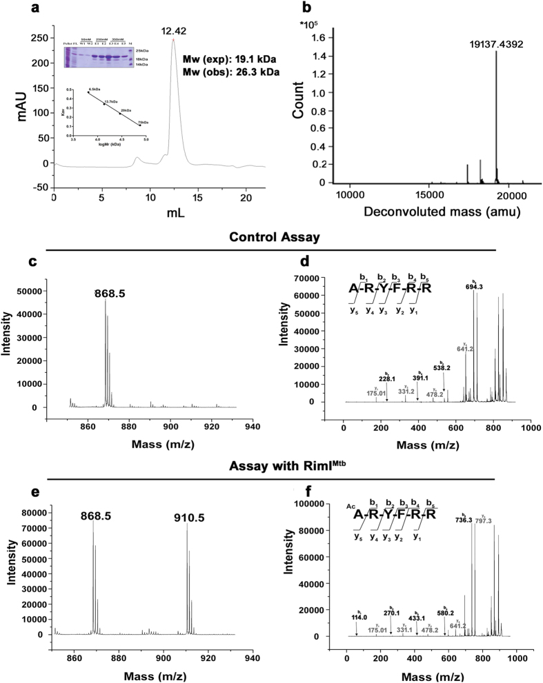 Purification of RimI Mtb and identification of Nα-acetyltransferase activity of RimI Mtb . ( a ) Gel filtration of RimI Mtb using superdex 75 10/300GL. Ni-NTA purified RimI Mtb (as shown in protein gel) eluted as monomer (calibration curve given in inset) ( b ) Confirmation of intact mass (19.1 kDa) of purified RimI Mtb monomer using LC-ESI-MS ( c ) MS analysis of control assay (without enzyme) using DPC peptide (ARYFRR) as substrate ( d ) MS/MS analysis of precursor ion (868.5 Da) of DPC peptide in control assay ( e ) MS analysis of enzyme assay confirming acetylation of DPC peptide by RimI Mtb . Modified peptide was observed (910.5) with an increase of 42.0105 Da as compared to unmodified peptide (868.5 Da) concomitant to the addition of acetyl group ( f ) MS/MS analysis of modified (910.5 Da) precursor ion of the substrate (DPC) peptide. An increase of 42.0105 Da was observed in all the b-ions (in black) while the y-ions (in grey) remained the same as that of unmodified substrate, confirming the site of acetylation as the N-terminal amino acid i.e. Ala.