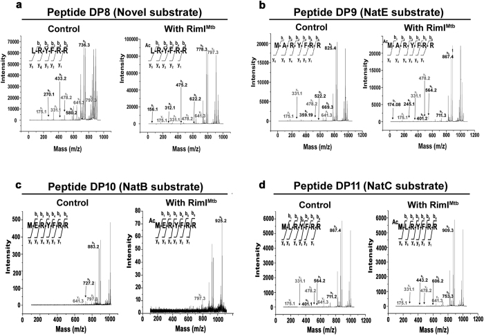 Relaxed substrate specificity of RimI Mtb . Results of NAT assays with substrate peptides DP8, DP9, DP10 and DP11 analyzed using MALDI-TOF/TOF. ( a ) MS/MS of 910.5 Da precursor ion (S/N = 4201) of unmodified and 952.5 Da precursor ion (S/N = 5894) of modified substrate peptide representing novel substrate specificity of RimI Mtb ( b ) MS/MS of 999.5 Da precursor ion (S/N = 7037) of unmodified and 1041.5 Da precursor ion (S/N = 4256) of modified substrate peptide representing N-terminus of conventional NatE substrate ( c ) MS/MS of 1057.8 Da precursor ion (S/N = 15916) of unmodified and 1099.5 Da precursor ion (S/N = 1011) of modified substrate peptide representing N-terminus of conventional NatB substrate ( d ) MS/MS of 1041.5 Da precursor ion (S/N=17767) of unmodified and 1083.5 Da precursor ion (S/N = 14629) of modified substrate peptide representing N-terminus of conventional NatC substrate.