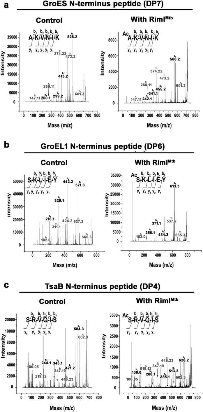 Acetylation of N-termini of neighboring proteins by RimI Mtb . ( a ) MS/MS of 672.4 Da precursor ion (S/N = 1999) of unmodified and 714.4 Da precursor ion (S/N = 557) of modified substrate peptide representing N-terminus of GroES ( b ) MS/MS of 752.3 Da precursor ion (S/N = 11634) of unmodified and 794.4 Da precursor ion (S/N = 1984) of modified substrate peptide representing N-terminus of GroEL1 ( c ) MS/MS of 689.4 Da precursor ion (S/N = 409) of unmodified and 731.3 Da precursor ion (S/N = 138.5) of modified substrate peptide representing N-terminus of TsaB.