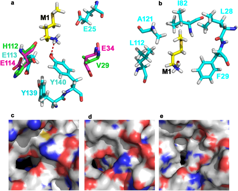 Structural alignment of RimI Mtb model (docked with peptide DP9-MARYFRR) with crystal structures of Naa50p (NatE) and TvArd1. Cyan: RimI Mtb model (developed using ITSSAR), Yellow: Substrate peptide DP9 (docked using Flexpepdock), Magenta: TvArd1 (4pV6) and Green: Naa50p (3TFY). ( a ) Key catalytic residues conserved between three structures and as listed in Supplementary Figure S5D , aligned at identical positions. Residues Y138 and Y139 (from Naa50p) and Y140 and Y141 (from TvArd1) (not shown in cartoon) and Y139 and Y140 of RimI Mtb (shown in cartoon), aligned perfectly. E25 of RimI Mtb is identified as distinctively placed in comparison with corresponding residues V29 of Naa50p and E34 of TvArd1. Hydrogen-bond between N-terminal Met of docked peptide and Y140 of RimI Mtb is represented by dotted line ( b ) Residues involved in hydrophobic contact between RimI Mtb and N-terminal Met of docked substrate peptide, defining substrate binding pocket of the enzyme ( c ) Surface cartoon of binding pocket of Naa50p/NatE ( d ) Surface cartoon of binding pocket of TvArd1 ( e ) Surface cartoon of binding pocket of RimI Mtb .