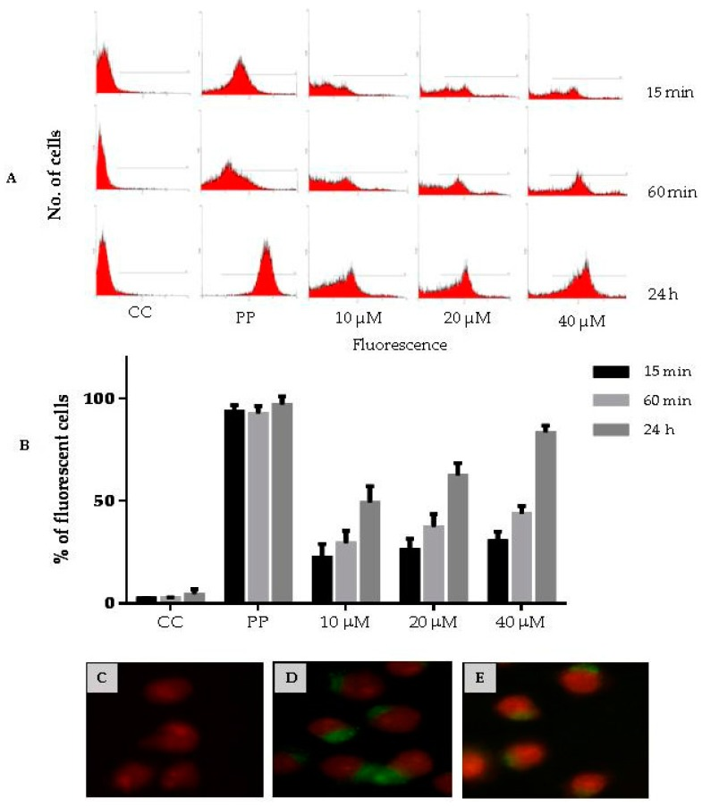 Penetration of CIGB-210 into the MT4 cell line. ( A , B ) CIGB-210 uptake assessed by flow cytometry. MT4 cells were incubated with 10, 20 or 40 µM of carboxyfluorescein labeled CIGB-210 for 15 min, 60 min or 24 h. External fluorescence was quenched by addition of 0.4% Trypan blue. CC: Control untreated MT4 cells; PP: carboxyfluorescein labeled peptide containing the Tat cell penetrating peptide used as positive control; ( A ) Flow cytometry histograms; and ( B ) percentage of fluorescent cells for each experimental condition. Data represent the mean ± standard deviation of three experiments performed in triplicate; ( C – E ) CIGB-210 uptake assessed by fluorescence microscopy. MT4 cells were treated with: 10 µM biotinylated CIGB-210 ( E ); 10 µM biotinylated Tat cell penetrating peptide ( D ); or medium ( C ) for 24 h, fixed and visualized with a streptavidin-FITC conjugate. The nucleus was stained with <t>propidium</t> iodine ( red ). 100× magnification.