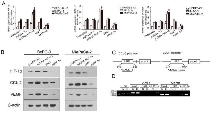 HIF-1α regulated the expression of CCL2 in PDAC cells, PC, N and H indicate positive control, normoxia, and hypoxia, respectively. ( A ) HPDE6-C7,BxPC3 and MiaPaca-2 cells were transfected with siHIF-1α (50 nmol/L) and pcDNA3.1-HIF-1α plasmids (4 µg) for 48 h, respectively; the mRNA expression levels of HIF-1α and CCL2 were assessed by qRT-PCR. The experiments were performed thrice independently. * p