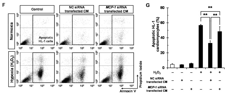 Sca-1+/CD31− CSCs hTERT CM protects HL-1 cardiomyocytes from hypoxic injury partly via MCP-1-dependent mechanism. Sca-1+/CD31− CSCs hTERT were cultured in six-well plates at a density of 5 × 10 4 cells/well and transfected with 50 nM of MCP-1 siRNA duplexes or NC siRNA duplexes using <t>Lipofectamine</t> <t>RNAiMAX.</t> After a 48 h transfection, MCP-1 mRNA expression was assessed by real-time PCR ( A ); The average value of MCP-1 mRNA was normalized to that of GAPDH for each sample. The data represent the mean ± SD from three experiments. Sca-1+/CD31− CSCs hTERT CM ( B ) after transfection of NC siRNA or MCP-1 siRNA were subjected to densitometry and are presented as fold changes for MCP-1 (indicated by number 6) and IL-6 (indicated by number 15) ( C ), taking MCP-1 and IL-6 levels in NC siRNA-transfected Sca-1+/CD31− CSCs hTERT as a one-fold value, each in triplicate, * p