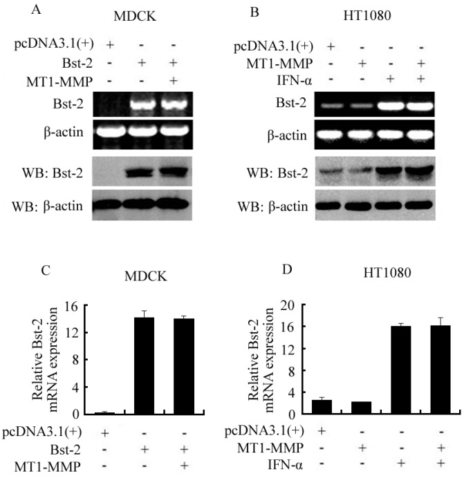 """Effect of MT1-MMP on the expression of Bst-2 in mRNA and protein levels HT1080 and MDCK cells. Cells were divided into two parts and seeded in 6-plates overnight, then transfected with plasmids as shown in figures; 48 h after transfection, ( A , B ) one part of the cells was treated with <t>TRIZOL</t> for <t>RT-PCR</t> assay and lysed with lysis buffer for western-blot assay; ( C , D ) the other part of the cells was treated with TRIZOL and harvested for qPCR as described in """"Materials and Methods""""."""