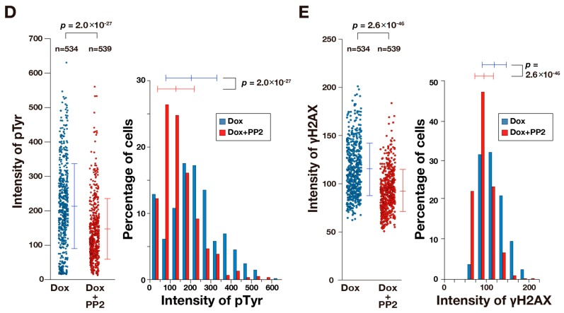 v-Src induces DNA damage. ( A ) HCT116/v-Src cells were cultured with 1.0 μg/mL Dox for 12 h in the presence or absence of 10 μM PP2. The cells were fixed with PBS containing 4% paraformaldehyde and 20% methanol for 20 min at room temperature and stained for pTyr (green), γH2AX (red), and DNA (blue). Arrows indicate cells showing lower levels of pTyr staining. The boxed regions are magnified in the right panels. Bars, 20 μm; ( B ) HCT116/v-Src cells were cultured with or without 1.0 μg/mL Dox for 12 h. The cells were fixed with PBS containing 20% methanol and 4% formaldehyde for 20 min at room temperature and stained for γH2AX and DNA. The fluorescence signals were analyzed by an image analyzer. The left histogram shows the number of γH2AX foci per nucleus. The right histogram shows the total area of γH2AX foci per nucleus. The results represent the mean ± S.D. None, n = 2870; 1.0 μg/mL Dox, n = 686; ( C ) Cells were cultured with Dox at the indicated concentrations for three days or 300 ng/mL Adriamycin (ADR) for one day as a positive control. Whole cell lysates were subjected to a Western blot analysis. Blots were probed with anti-γH2AX and anti-actin (loading control). A representative result of two independent experiments is shown; ( D , E ) Cells were cultured with 1.0 μg/mL Dox for 12 h in the absence or presence of 10 μM PP2. Then, the cells were fixed and stained as described in A . The fluorescence signals were analyzed by an image analyzer. In D , fluorescence intensities of pTyr in individual cells were plotted with the mean ± S.D. ( n > 534) in the left, and data were converted to a histogram plot shown on the right; In E , fluorescence intensity of γH2AX in an individual nucleus was plotted with the mean ± S.D. ( n > 534) on the left, and data were converted to a histogram plot as shown on the right. p values were calculated using a two-tailed Student's t -test.