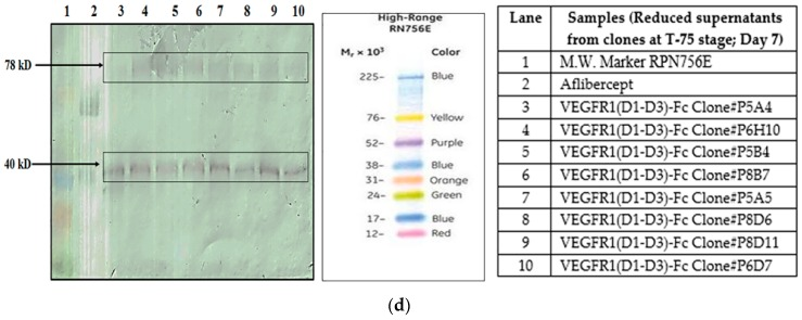 ( a ) Western Blot of supernatants of transfected HEK293T cells expressing VEGFR1(D1-D3)-Fc protein at different time points in 24-well plate; ( b ) Western Blot for VEGFR1-Fc detection in supernatants of transfected CHOK1SV GS-KO clones at 24-well plate stage of clone development; ( c ) Western Blot of supernatants of clones at T-25 stage for VEGFR1(D1–D3)-Fc protein expression analysis; ( d ) Western Blot of supernatants of clones at T-75 stage for VEGFR1(D1–D3)-Fc protein expression analysis.