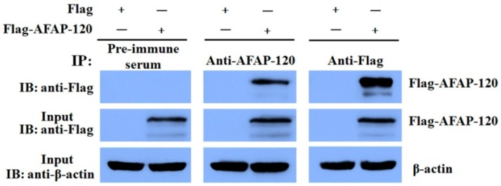 Recognization of anti-AFAP-120 antibody to native human AFAP-120 protein. HEK 293T cells were transfected with plasmids pCMV-Flag-human AFAP-120 (Flag-AFAP-120) or empty vector pCMV-Flag (Flag). Twenty-five micrograms of whole cell protein lysate was used as input to confirm the expression of the Flag-AFAP-120 (with anti-Flag) or β-actin (with anti-β-actin) by immunoblotting (IB). The rest of cell lysates were incubated with anti-AFAP-120, anti-Flag, or pre-immune serum, respectively. The immunoprecipitated (IP) protein complexes were resolved by SDS-PAGE and probed with antibodies against Flag.