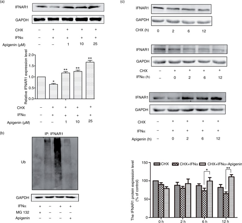 Apigenin inhibits IFN-α-induced degradation of IFNAR1. (a) HEK293A cells were treated with 20 µM cycloheximde (CHX) for 2 h, and then with apigenin (1 µM, 10 µM, 25 µM) for 12 h before the treatment with IFN-α (1×10 4 U/mL) for an additional 2 h. The cell lysates were immunoblotted with anti-IFNAR1 antibody. GAPDH staining is shown as a loading control. (b) HeLa cells were transfected with pCMV-ubiquitin plasmid for 48 h and incubated with MG132 (20 µM) or apigenin (20 µM) for 12 h before treatment with IFN-α (1×10 4 U/mL) for another 2 h. Cell lysates were immunoprecipitated with the IFNAR1 antibody. Immunoblotting was performed using ubiquitin antibody. GAPDH antibody staining represents 5% of the total cell lysates used in immunoprecipitation. (c) HeLa cells were treated with 20 µM CHX, IFN-α (1×10 4 U/mL) or apigenin (20 µM) for the indicated time. The cell lysates were immunoblotted with anti-IFNAR1 antibodies. GAPDH staining is shown as a loading control.