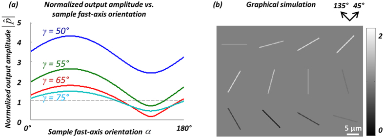 ( a ) Optimization of the orientation angle of the linear polarizer ( γ ). The normalized output amplitude is plotted as a function of the sample fast-axis orientation, α , for different linear polarizer orientations ( γ = 50°, 55°, 65°, 75°). ( b ) The simulated normalized output images of MSU crystals at varying orientations, using γ = 65°. The MSU crystals are simulated as cylinders with a birefringence of | Δ n| = 0.1, diameter of 0.5 μm, length of 10 μm, and the fast axis is along the long axis of the crystals.