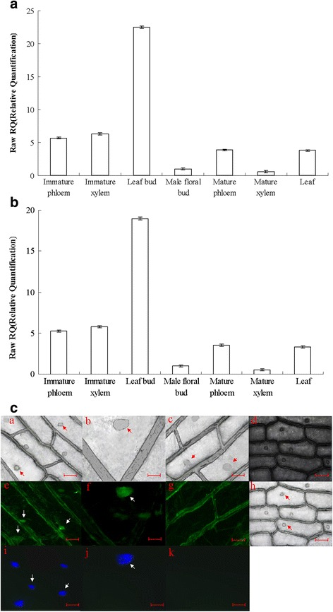 qRT-PCR analysis of the expression of PdRanBP in different vascular tissues and organs of P. deltoides , and detection of immediate and stable expression of GFP -tagged PdRanBP . a , b qRT-PCR analysis of PdRanBP expression in the vascular tissues and other organs of P. deltoides during secondary cell wall development. Aliquots of 1000 ng total RNA were reverse-transcribed into cDNA. The signals were normalized to the constitutively expressed poplar α-tubulin ( TUA1 ) ( a ) and Ubiquitin ( UBQ1 ) ( b ) genes. The values are the mean ± standard error (SE) of three replicates. PdRanBP was predominantly expressed in the leaf buds, immature xylem and immature phloem of P. deltoides . c Nuclear localization of EGFP-PdRanBP fusion protein in onion epidermal cells. Dark-field images were captured for green fluorescence ( e and f ), GFP-only control (g) and the corresponding bright-field images for e , f, g are a, b, c . Bright-field images ( h ) were captured for cell morphology, and the corresponding dark-field images for h is d . i and j , Nuclei counterstained with 4′, 6-diamidino-2-phenylindole (DAPI); the corresponding GFP-only control images of i and j are shown in k . The scale bars are 200 μm in a , c, d, e, g, h, i and k , and 800 μm in b, f , and j