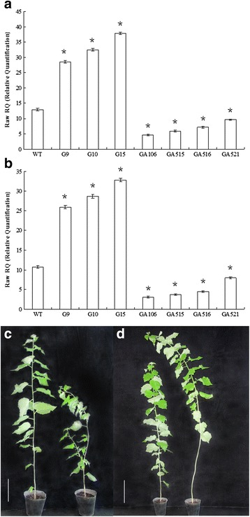 Overexpression of PdRanBP stunted growth and induced sylleptic branches; PdRanBP downregulation produced taller plants with thicker stems. a , b qRT-PCR analysis confirming PdRanBP overexpression in the transgenic poplar lines G9 and G15. TUA1 ( a ) and UBQ1 ( b ) were used as control genes. The error bars represent the standard error (SE) of three replicates. WT: wild poplar; G9, G10 and G15: transgenic poplar lines overexpressing PdRanBP (OE); GA106, GA515, GA516 and GA521: transgenic poplar lines in which PdRanBP is downregulated (DR). The asterisks indicate significant differences between the transgenic lines and WT (* P