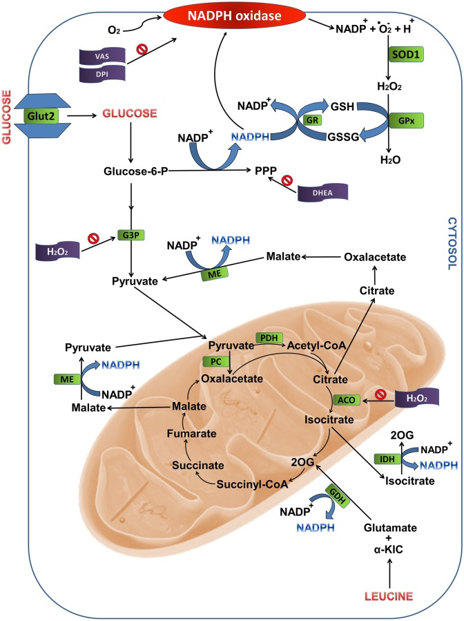 Metabolic pathways associated to NADPH production from glucose and leucine oxidation in pancreatic islets. The sites indicated are: the pentose phosphate pathway and reactions involving intermediates of the Krebs cycle. ACO, aconitase; CYT, cytosol; DHEA, dehydroepiandrosterone; G3P, glyceraldehyde-3-phosphate dehydrogenase; GDH, glutamate dehydrogenase; GPx, glutathione peroxidase; GR, glutathione reductase; GSH, reduced glutathione; GSSG, oxidized glutathione; IDH, isocitrate dehydrogenase; ME, malic enzyme; MIT, mitochondria; PDH, pyruvate dehydrogenase; PPP, pentose phosphate pathway; SOD1, superoxide dismutase 1; 2OG, 2-oxoglutarate; α-KIC, α-ketoisocaproic acid.