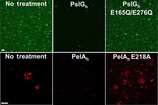 The glycoside hydrolases PslG h and PelA h hydrolyze the exopolysaccharides Pel and <t>Psl</t> in a biofilm. Representative confocal images of Psl <t>biofilms</t> grown statically for 24 hours ( top ) and Pel biofilms cultivated for 48 hours ( bottom ) under flow conditions and treated with wild-type hydrolases or hydrolases that have point mutations to catalytic residues. Biofilms were stained with the HHA Psl-specific lectin (green) and WFL Pel-specific lectin (red). Scale bars, 30 μm.
