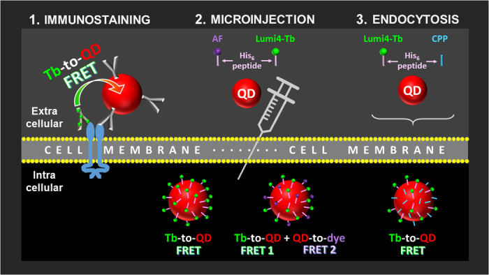Schematic presentation of the FRET imaging approaches used in this study. (1) Extracellular FRET between Tb- and QD-functionalized antibodies that bind to different epitopes of EGFR on the cell membrane. (2) Intracellular (cytosol) FRET from Tb-to-QD and FRET relays from Tb-to-QD-to-dye using microinjected QDs conjugated with Alexa Fluor 647 (AF) and Lumi4-Tb peptides via hexahistidine (His 6 ) self-assembly. (3) Intracellular (endosomes/lysosomes) FRET from Tb-to-QD using CPP-mediated endocytosis of QDs conjugated with Lumi4-Tb peptides via hexahistidine self-assembly.