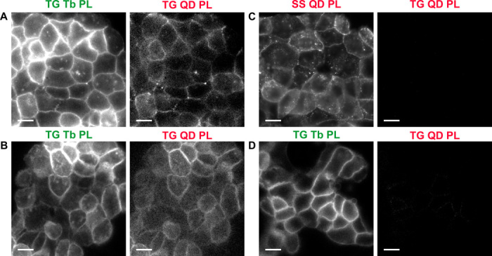 Extracellular Tb-to-QD FRET using immunostaining of EGFR. ( A and B ) Tb-to-QD FRET detected on A431 cells with QD- and Tb-conjugated antibodies (A) and nanobodies (B). For both immunostaining approaches, the time-gated Tb (TG Tb PL) and QD (TG QD PL) channels reveal bright PL signals originating mainly from the cell membranes. ( C and D ) In contrast, staining with only QD-antibodies (C) or only Tb-antibodies (D) does not result in TG PL in the QD channel (TG QD PL, right), and only the pure QD SS PL (C, SS QD PL, left) or the pure TG Tb PL (D, left) become visible. Excitation and emission wavelengths for the different detection channels were as follows: λ ex = 365 nm and λ em = 494 ± 10 nm for TG Tb PL, λ ex = 365 nm and λ em = 655 ± 20 nm for TG QD PL, and λ ex = 545 ± 15 nm and λ em = 610 ± 35 nm for SS QD PL. For TG images, the number of integrations was 220 and 110 for the TG Tb PL and TG QD PL channels, respectively. Tb-to-QD FRET channel images (TG QD PL) were corrected for spectral crosstalk, and each TG QD PL channel image in this figure is presented at identical contrast. Scale bars, 20 μm.