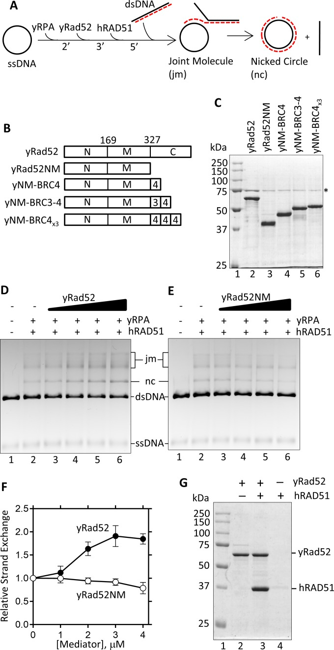 Mediator assay of yRad52 with hRAD51. (A) Illustration of the DNA strand exchange experiment to analyze the mediator activity. ΦX-174 ssDNA was incubated with yRPA, yRad52, hRAD51, and then with ΦX-174 dsDNA in the indicated order. The reaction produced joint molecules (jm) and a nicked circular (nc) dsDNA. (B) Derivatives of yRad52. N-terminal (N), middle (M), and C-terminal (C) region have been described in previous paper [ 18 ]. For bottom three constructs, yRad52NM was fused with a human BRC4 (NM-BRC4), BRC3-BRC4 (NM-BRC3-4), or three repeats of BRC4 (NM-BRC4 x3 ). (C) Same amount (2 μg) of purified yRad52 and its derivatives were separated by SDS-PAGE and stained with coomassie brilliant blue. Asterisk indicates a contaminating protein present in all preparations. (D and E) DNA strand exchange was performed in the absence (lane 2) or presence of 1, 2, 3, 4 μM (lane 3 to 6) of yRad52 (D) or yRad52NM (E). DNA products were separated through agarose gel and visualized with ethidium bromide staining. Lane 1 shows a control reaction without any protein. (F) The products (nicked circles (nc) and joint molecules (jm)) were quantified from D (yRad52) and E (yRad52NM) and repeated experiments and relative product formation was plotted against the mediator concentration. Product formation in the absence of the mediator was 31.2%, which was defined as 1.0. Error bars are standard deviations (n = 3). (G) hRAD51 and His-tagged yRad52 were mixed as indicated and precipitated with Ni-beads. Proteins on the beads were then eluted and analyzed by SDS-PAGE.