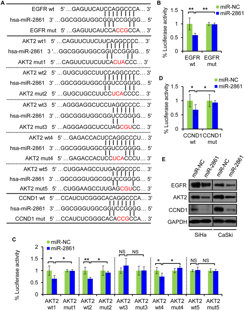 Knockdown of EGFR, AKT2, or CCND1 produces similar suppressive effects to that of miR-2861 overexpression in cervical cancer cells. ( A ) Knockdown of EGFR, AKT2, or CCND1 suppresses cell proliferation of both SiHa and CaSki cells. CCK8 assay was performed to determine the growth of SiHa and CaSki cells treated with si-EGFR, si-AKT2, si-CCND1, or si-NS. ( B , C ) Knockdown of EGFR, AKT2, or CCND1 enhances cell apoptosis of SiHa and CaSki cells. Apoptosis assay was determined in SiHa and CaSki cells at 48 h after transfection of si-EGFR, si-AKT2, si-CCND1, or si-NS. Representative images are shown ( C ) and early apoptosis rate are indicated ( B ). ** P