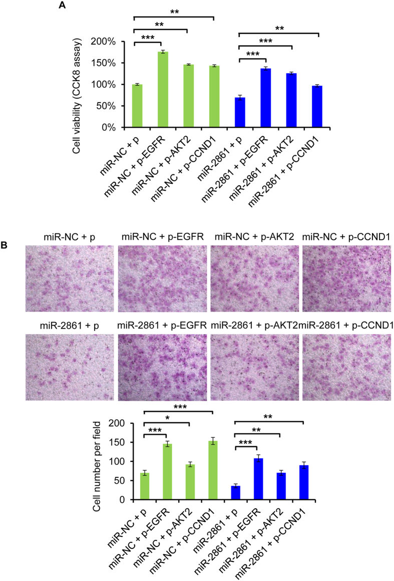 EGFR, AKT2, and CCND1 rescue miR-2861-induced cellular phenotypes in SiHa cells. Cells were cotransfected with EGFR, AKT2, CCND1 or empty vector and miR-2861 or miR-NC. ( A ) Overexpression of either EGFR, AKT2, or CCND1 recovers miR-2861-induced cell proliferation. CCK8 assay was assessed at 72 h after cotransfection. ( B ) Overexpression of either EGFR, AKT2, or CCND1 rescues miR-2861-induced inhibition of cell invasion. Representative images are shown (magnification: ×200). Error bars indicate ± SD. * P